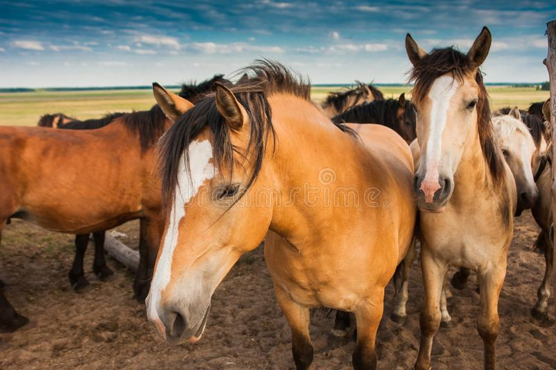 Herd of horses in pasture in summer royalty free stock images