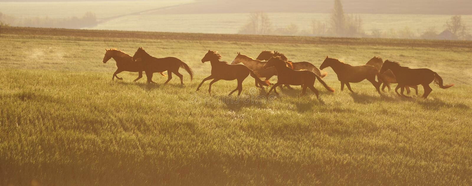 A herd of horses. The rising sun. Horses walk in freedom. Mustangs stock images