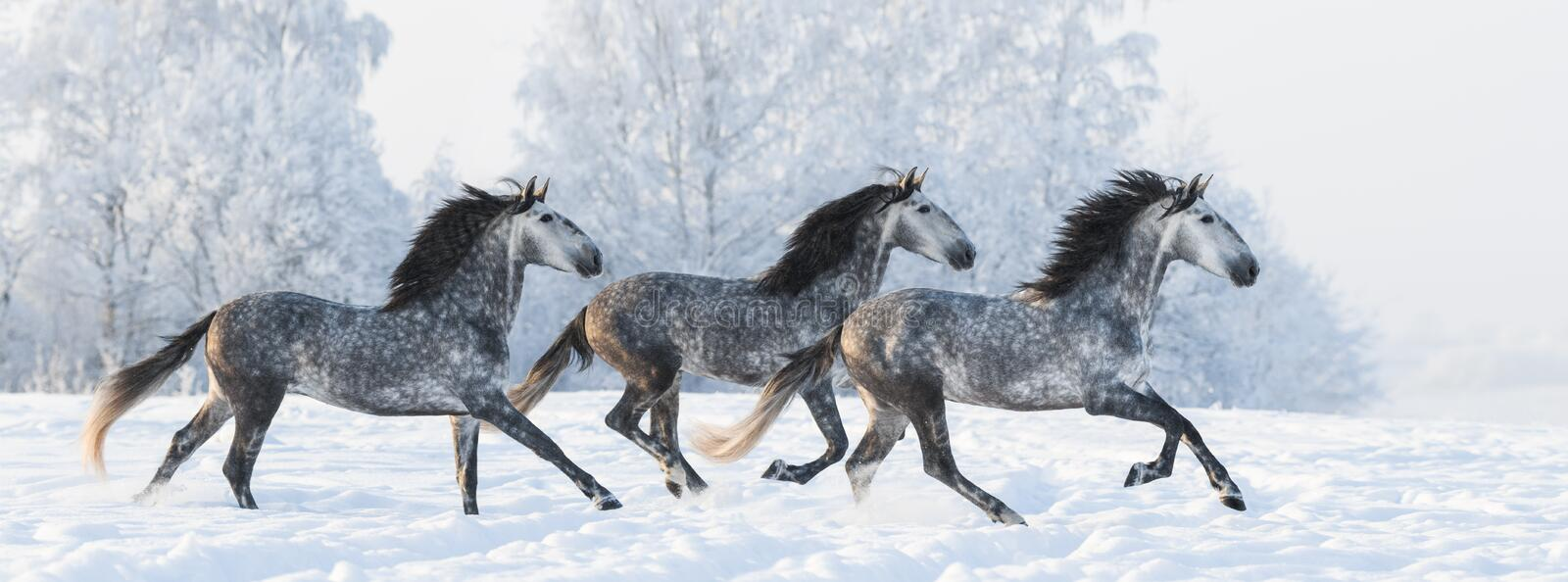 Herd of horses run gallop across snowy field royalty free stock photo