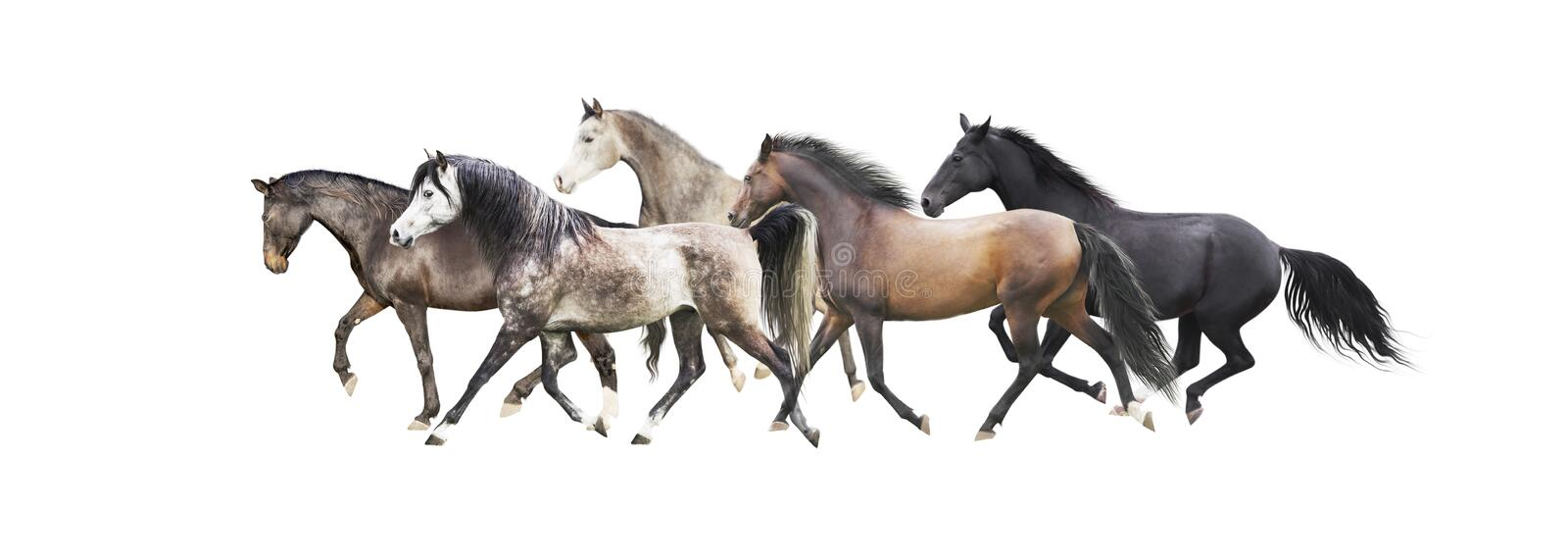 Herd of horses running , isolated on white. Background stock photos