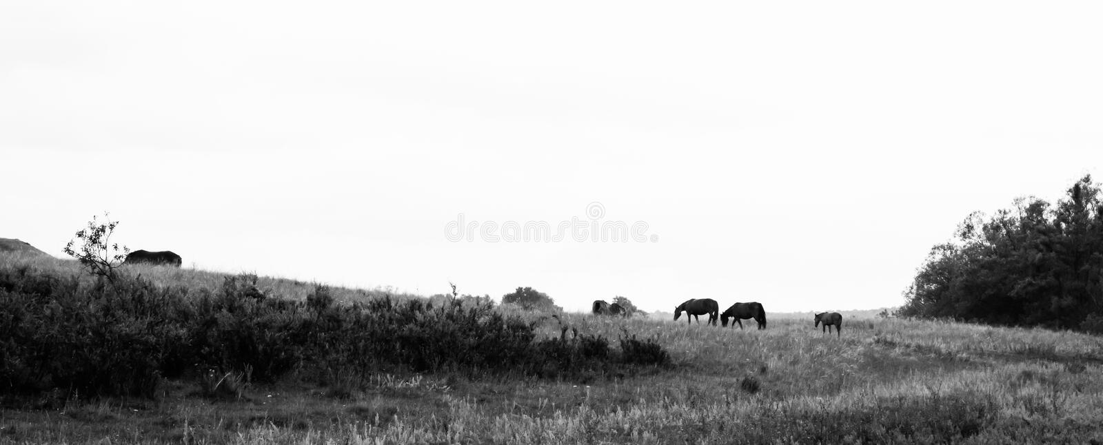 Herd of horses on rural road. Horse farm pasture with mare and foal.Black and white photo stock image