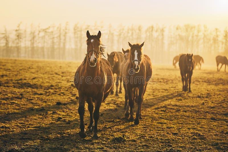 Herd of horses at sunset. Herd of horses on field against landscape at golden sunset, Czech Republic stock images