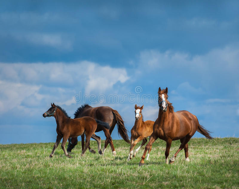 Herd of horses walks in field. Two mares with foals on pasture. royalty free stock photos