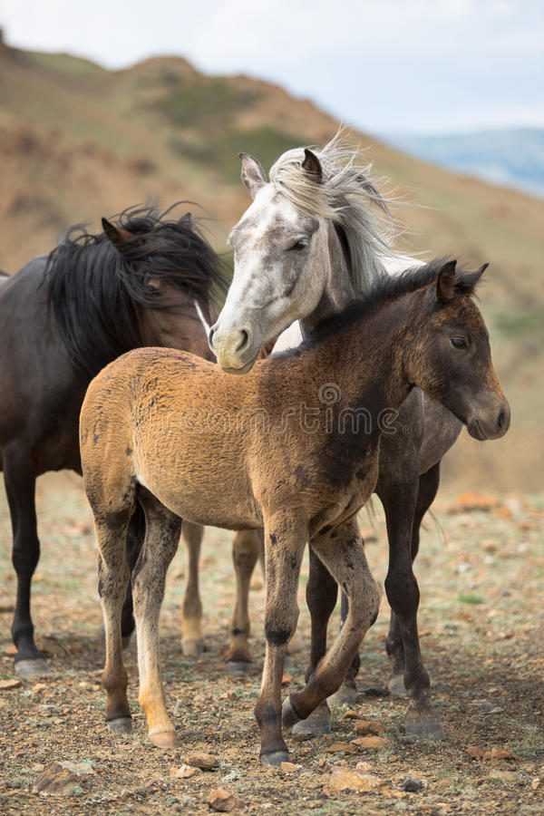 Herd of horses with young foals royalty free stock photography
