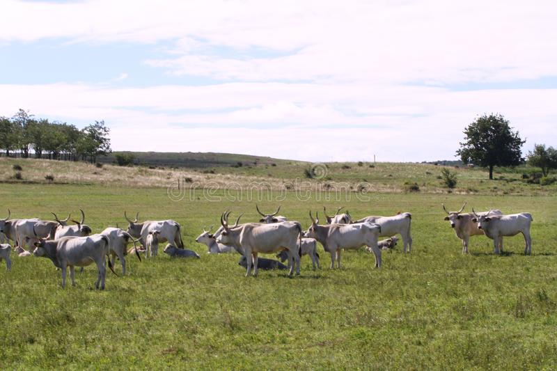 Herd of hungarian grey cattle on a meadow at rural animal farm royalty free stock photography
