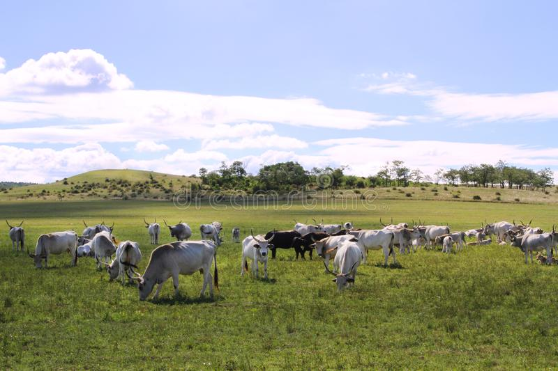 Herd of hungarian grey cattle on a meadow at rural animal farm royalty free stock photo