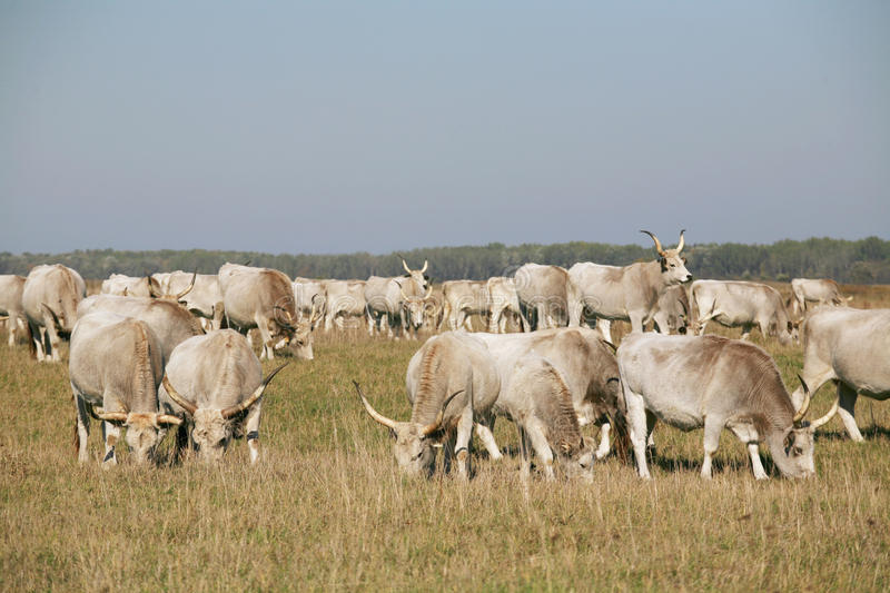 Herd of hungarian grey steppe cattle grazing on meadow stock image