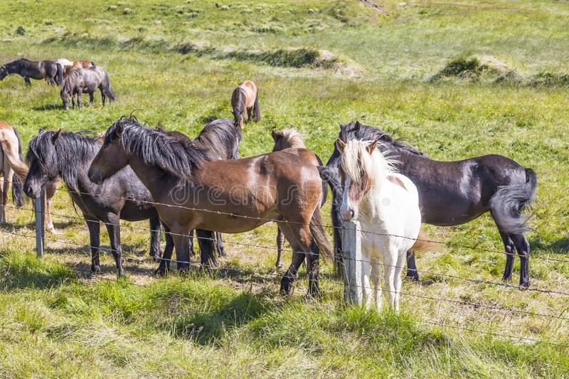 Herd of iceland ponys on green meadow in summer stock photography