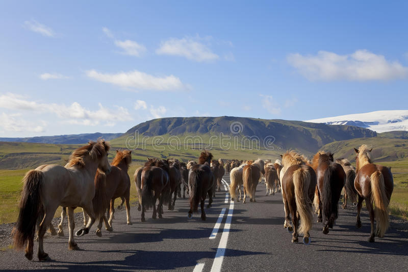 Herd of Icelandic Horses Running Down A Road royalty free stock photography