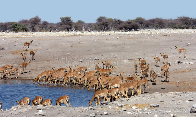 Herd Of Impala Royalty Free Stock Image