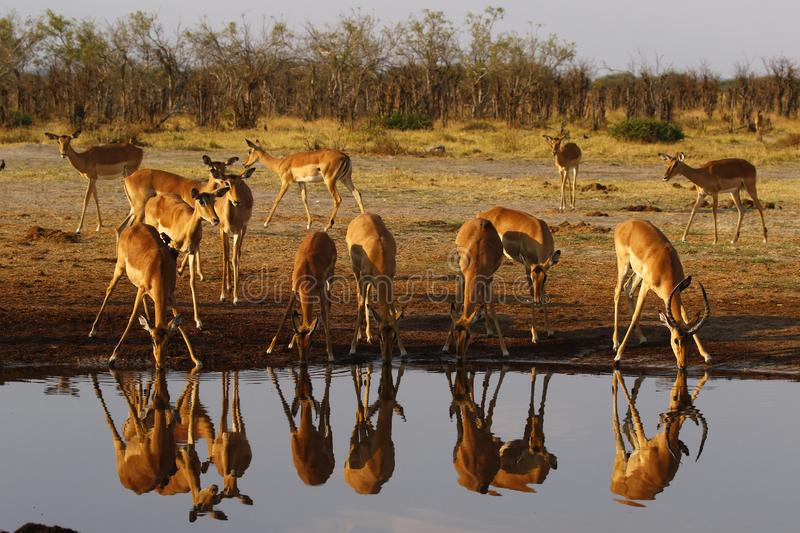 Impala, plains game impala reflections in the water stock photo