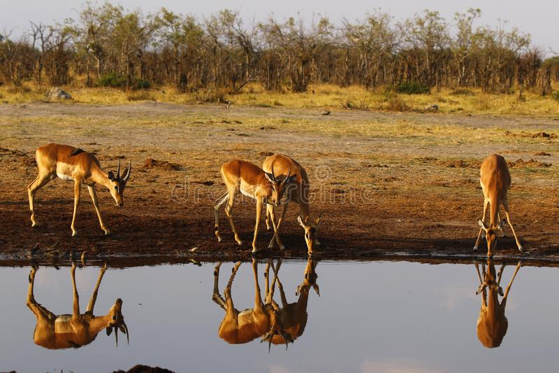 Impala, plains game impala reflections in the water stock images
