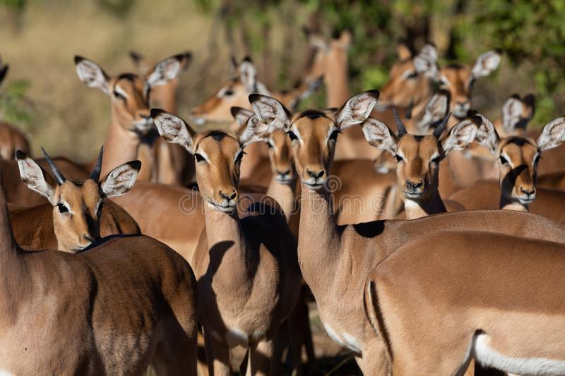 Impala antelope standing together royalty free stock image