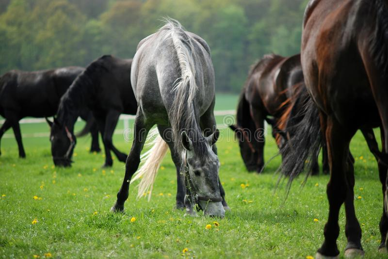 Grazing horses in spring pasture royalty free stock image