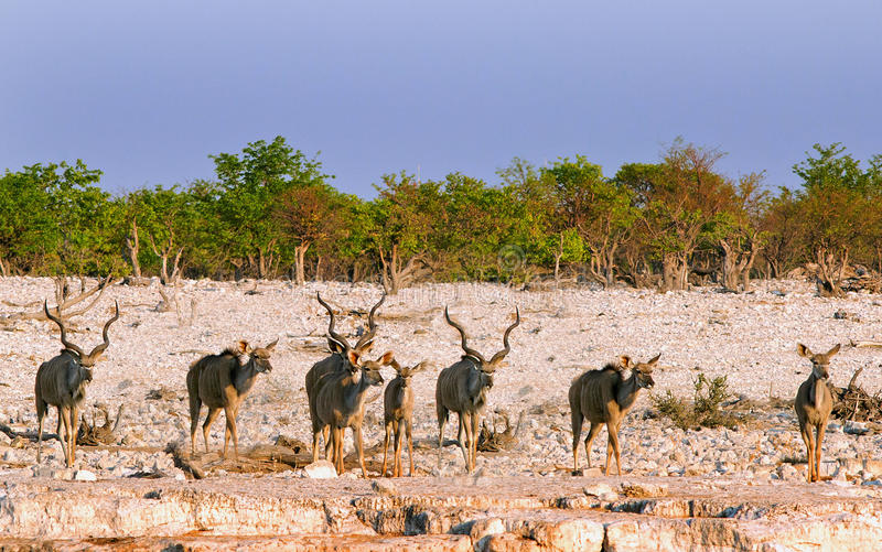 A Herd of Kudu on the plains in Etosha. Several kudus standing in a line all looking ahead in Etosha stock image