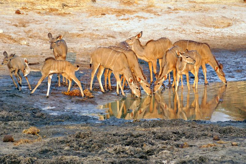 Herd of kudu at a watering hole. At a lodge in the bush in Botswana at sunset, with their reflections in the water stock images