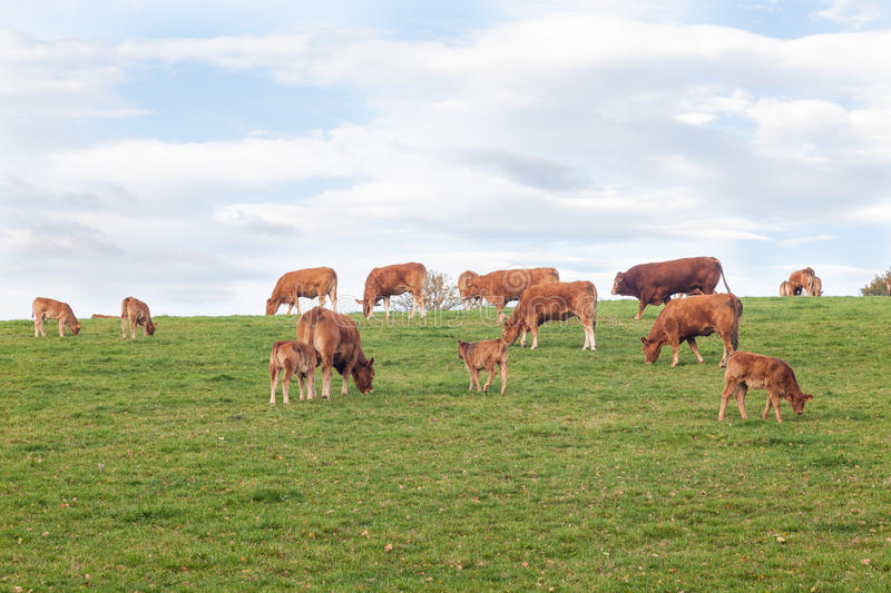 Herd of Limousin beef cattle grazing on the skyline. Herd of red brown Limousin cattle with a bull, cows and calves grazing in a green field on the skyline under royalty free stock photos