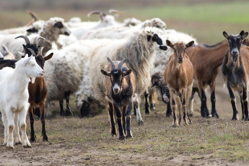 Herd of  livestock sheep and goats on the pasture royalty free stock image