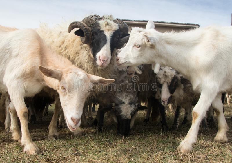 Herd of  livestock sheep and goats royalty free stock photography