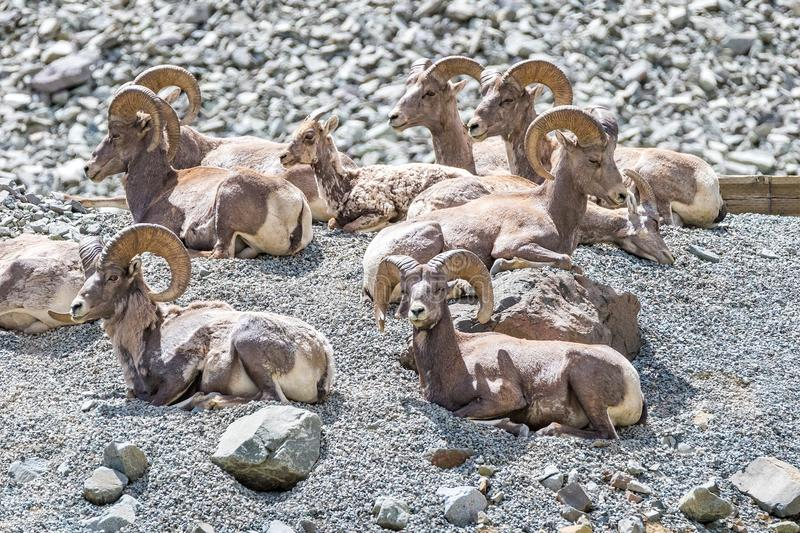 Herd of Male Bighorn Sheep on a mountainside royalty free stock image