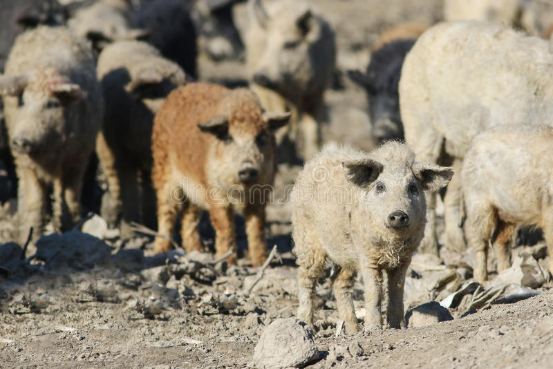 Herd Mangalica a Hungarian breed of domestic pig royalty free stock image