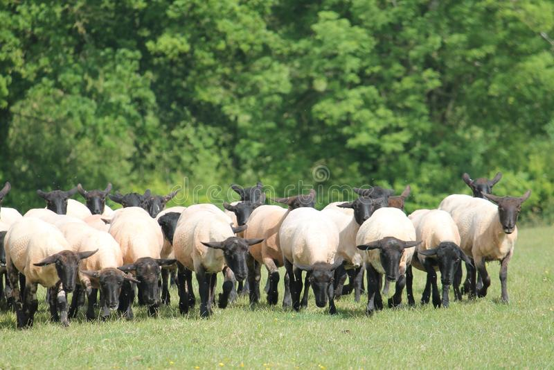 Herd mentality stock image