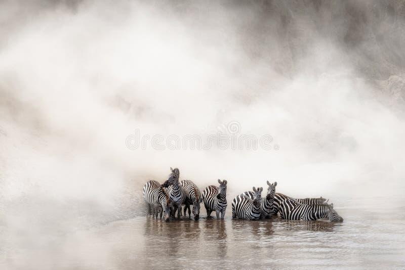 Zebra Drinking in the Mara royalty free stock photo
