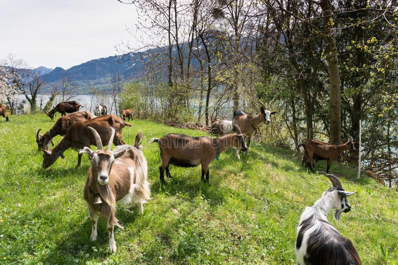 Herd of mountain goats on a lush green meadow with a lake and snow-capped mountains behind stock images
