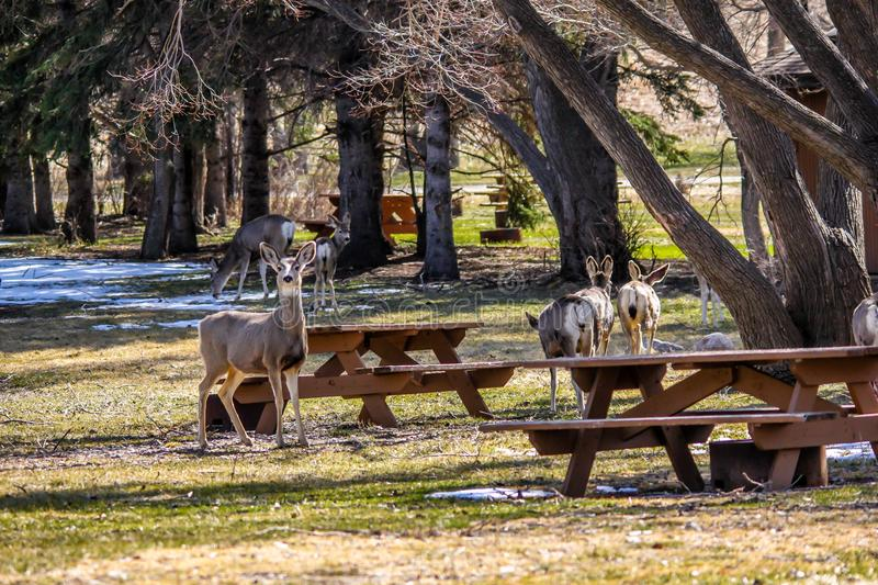 Mule deer picnicking, Little Bow Provincial Park, Alberta, Canada royalty free stock photography