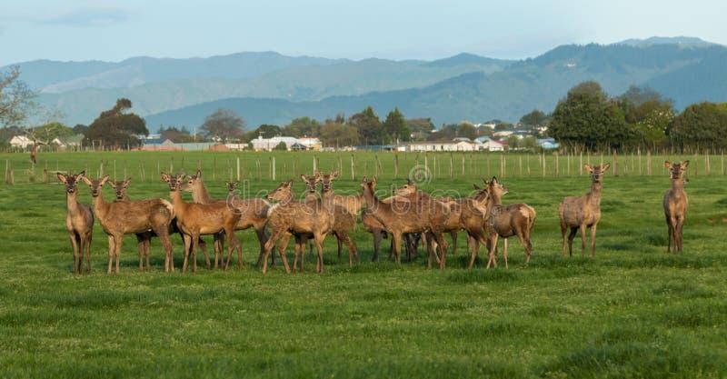 Herd of New Zealand Deer royalty free stock images
