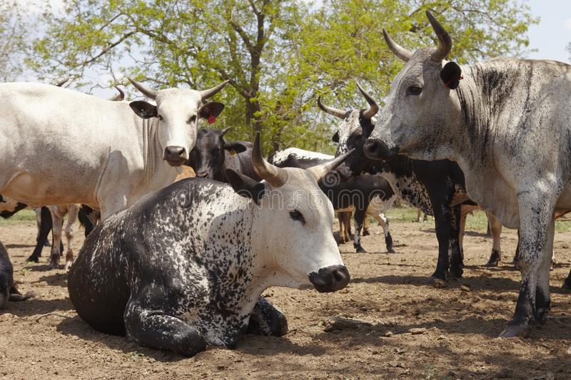 Herd of nguni cattle royalty free stock photos
