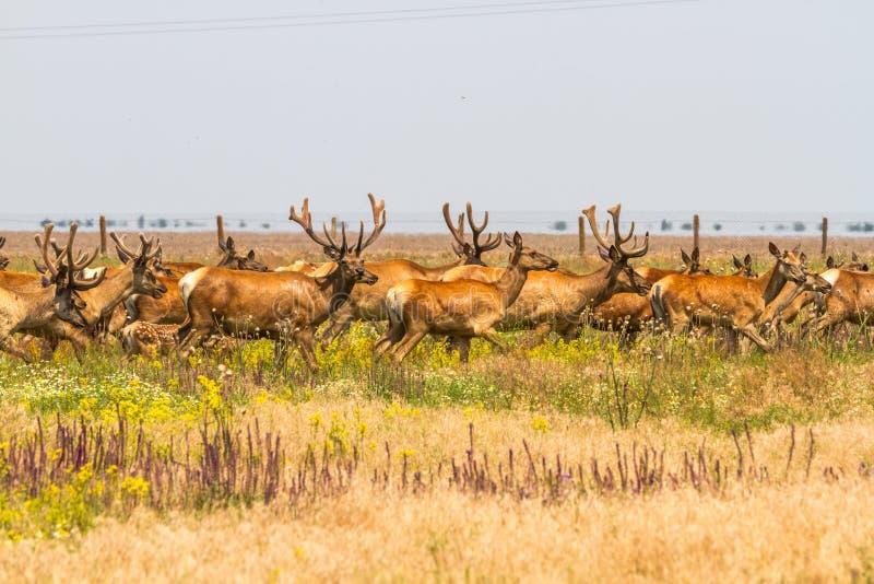 A herd of noble deer graze in the steppe. stock photos