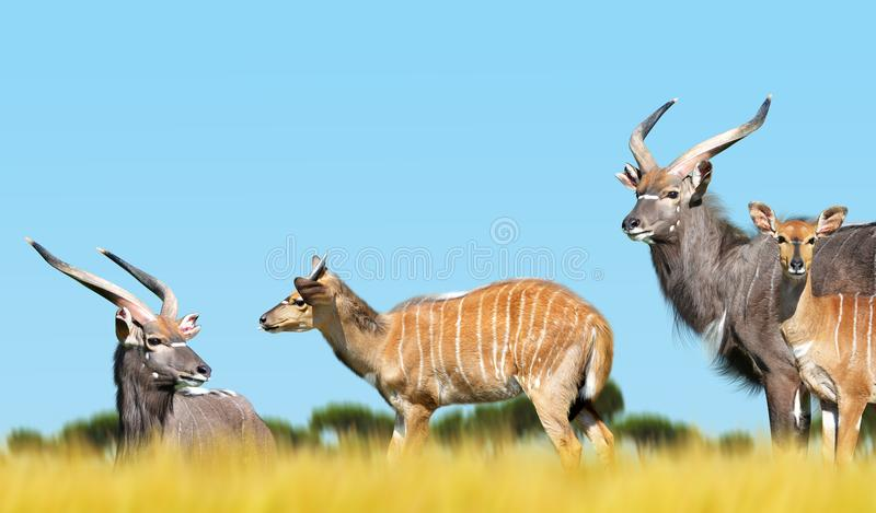 Herd of Nyala antelope on the savanna. stock image