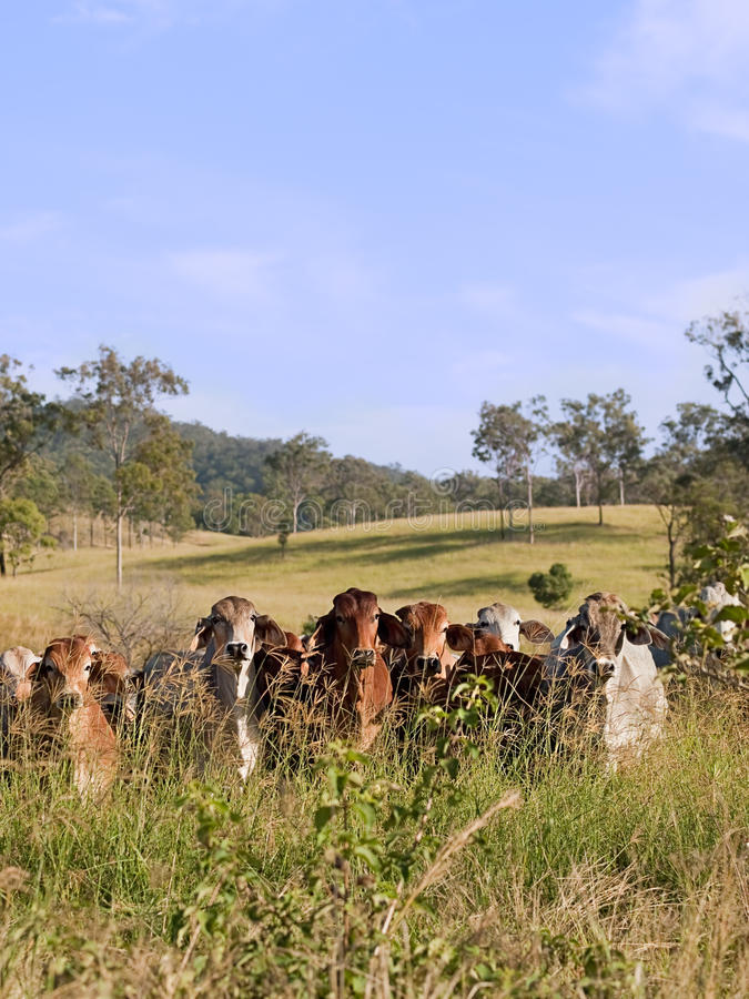 Free Herd Of Beef Cattle In Pasture Stock Photography - 31296612