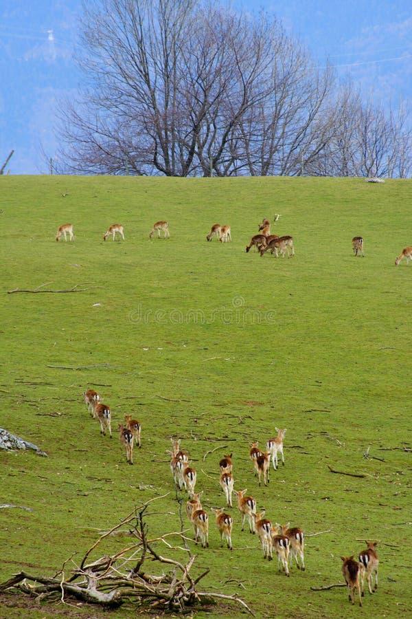 Free Herd Of Deers In A Green Field Stock Photo - 2224610