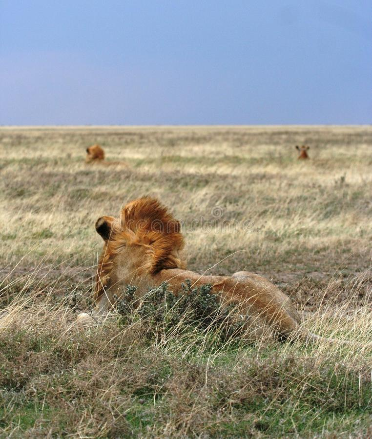 Free Herd Of Lions Royalty Free Stock Images - 16933989