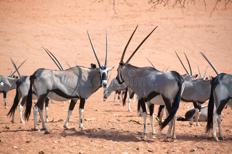 Herd of Oryx with long horns on orange sand of Namib desert background closeup, safari in Namibia, Southern Africa stock photos