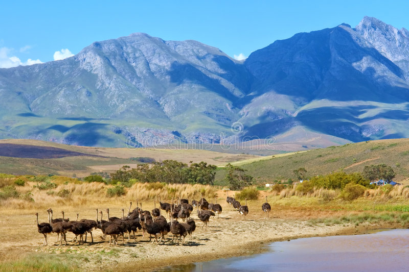 Herd of ostriches on mountain farm royalty free stock images