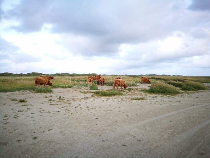 Ox on the beach stock photography
