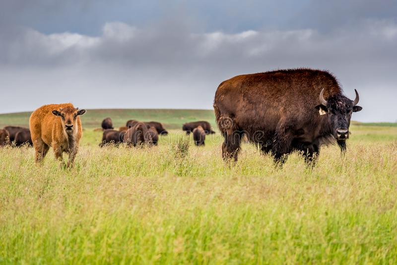 Herd of plains bison buffalo with a baby calf grazing in a pasture in Saskatchewan, Canada. A herd of plains bison buffalo with a baby calf grazing in a pasture stock photos