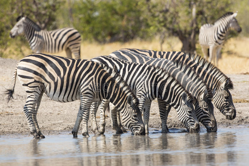Herd of Plains Zebra (Equus burchellii) drinking in South Africa. Herd of Plains Zebra drinking at the water's edge in South Africa stock photo