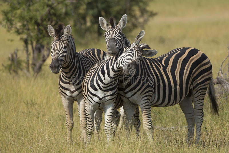 Herd of Plains Zebra (Equus burchellii) in South Africa stock photo