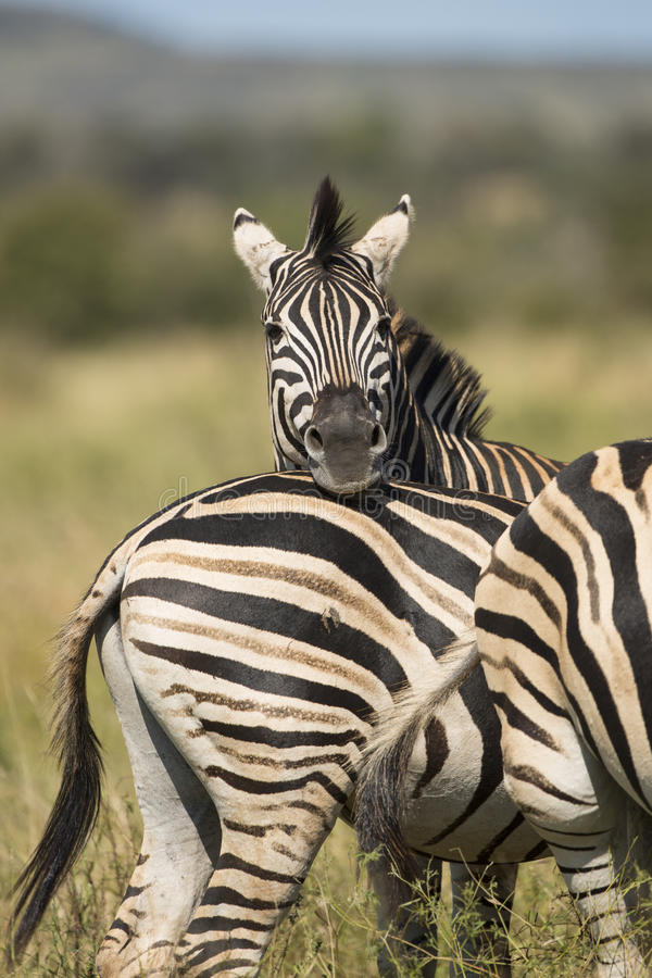 Herd of Plains Zebra (Equus burchellii) in South Africa royalty free stock images
