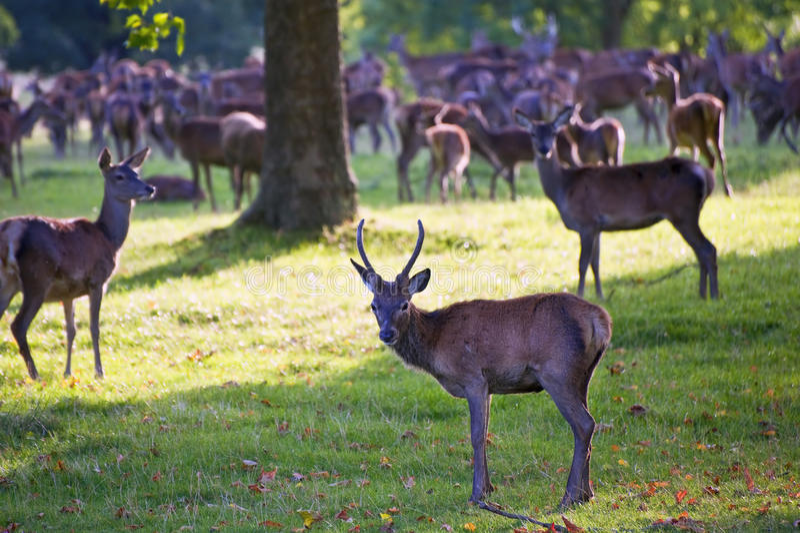 Herd of red deer in Autumn Fall