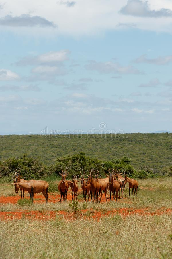 Herd of Red hartebeest standing together in the field royalty free stock images
