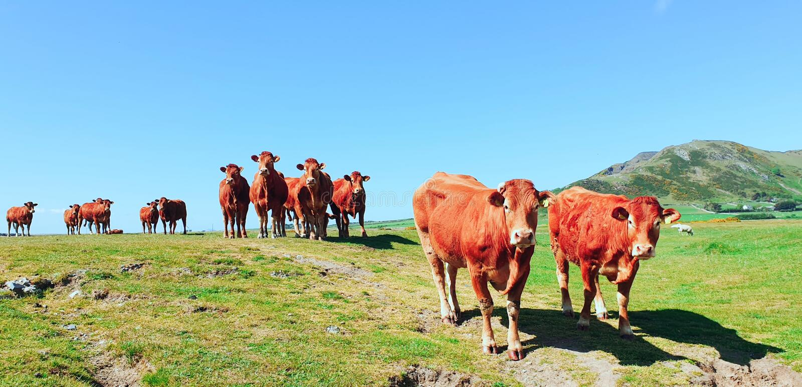Herd of Red Limousin cattle cows livestock royalty free stock photography