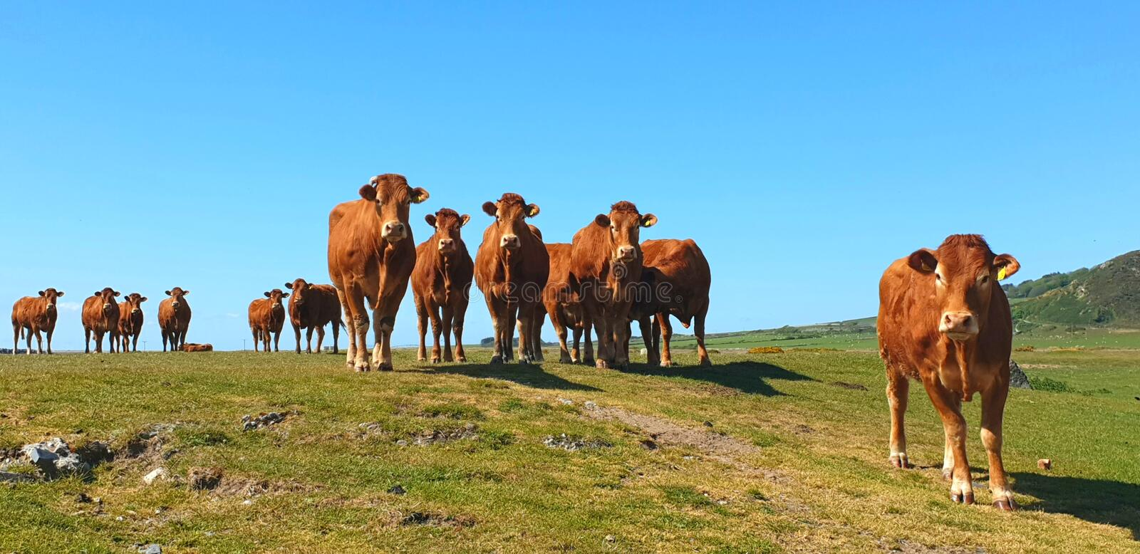 Herd of Red Limousin cattle female cow cows livestock stock image
