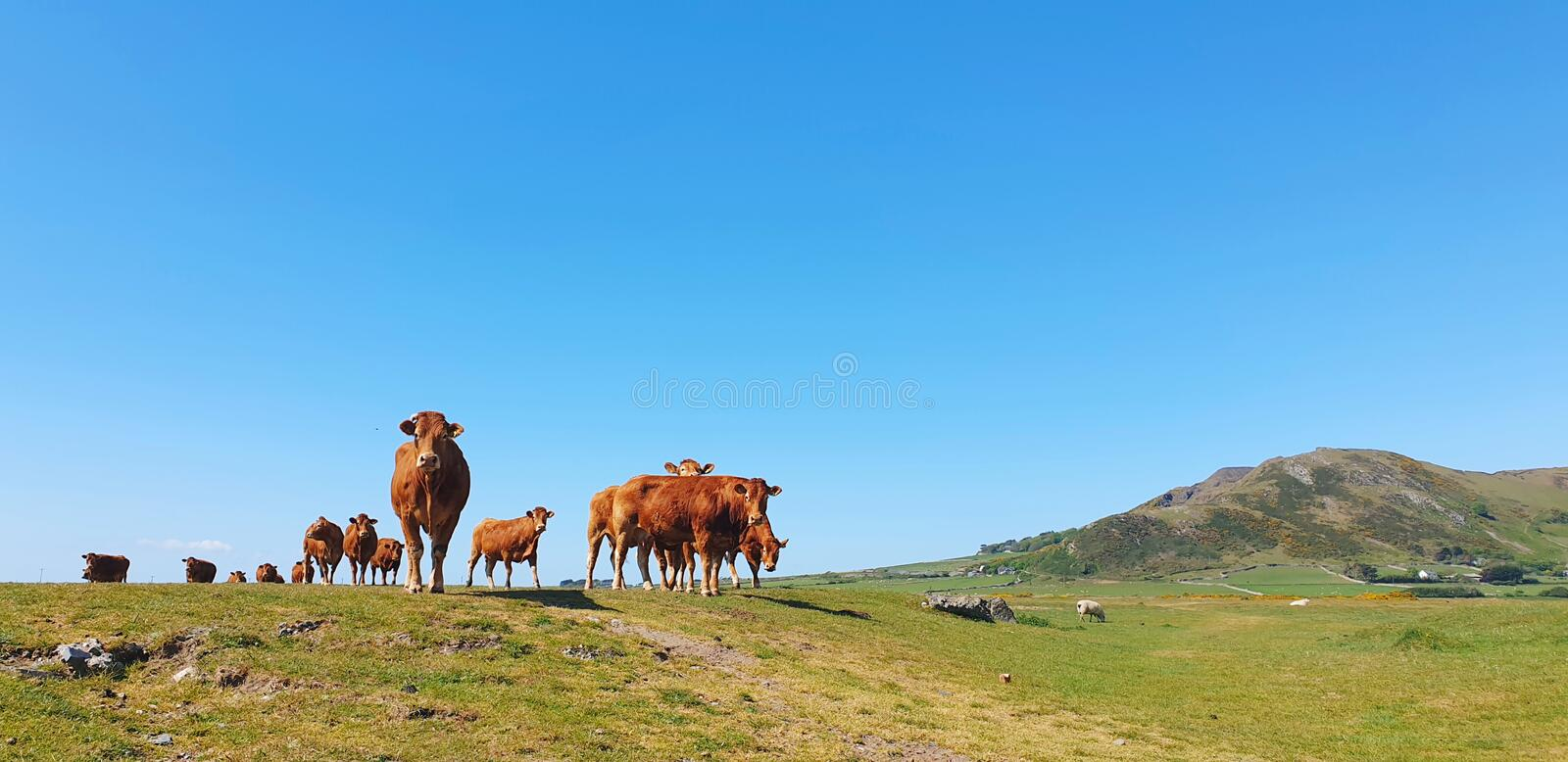 Herd of Red cattle cows livestock royalty free stock image