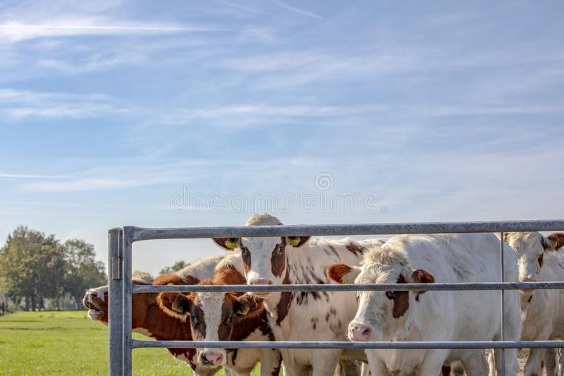 A herd red and white heifers behind a fence, next to each other with a background of trees and blue sky. royalty free stock image