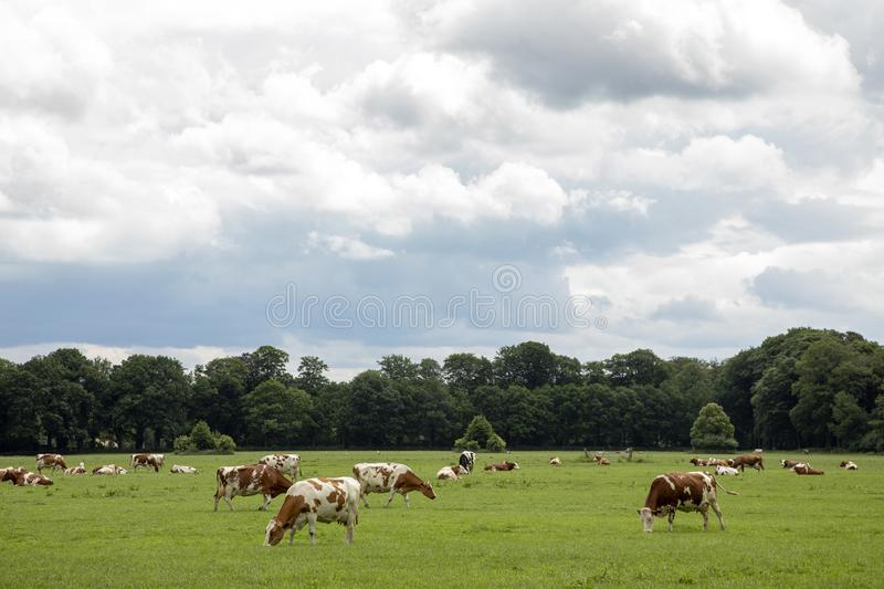 Herd of reddish-brown with white cows grazing in a green pasture lined with trees in scenery with dark cloudy sky. Herd of reddish-brown with white cows grazing stock image